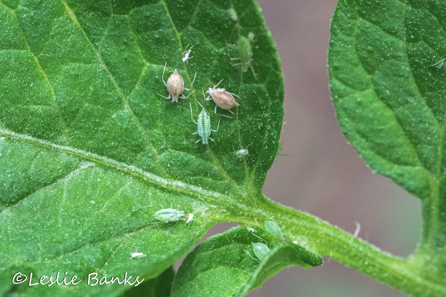 Aphids Attacking Tomato Plant