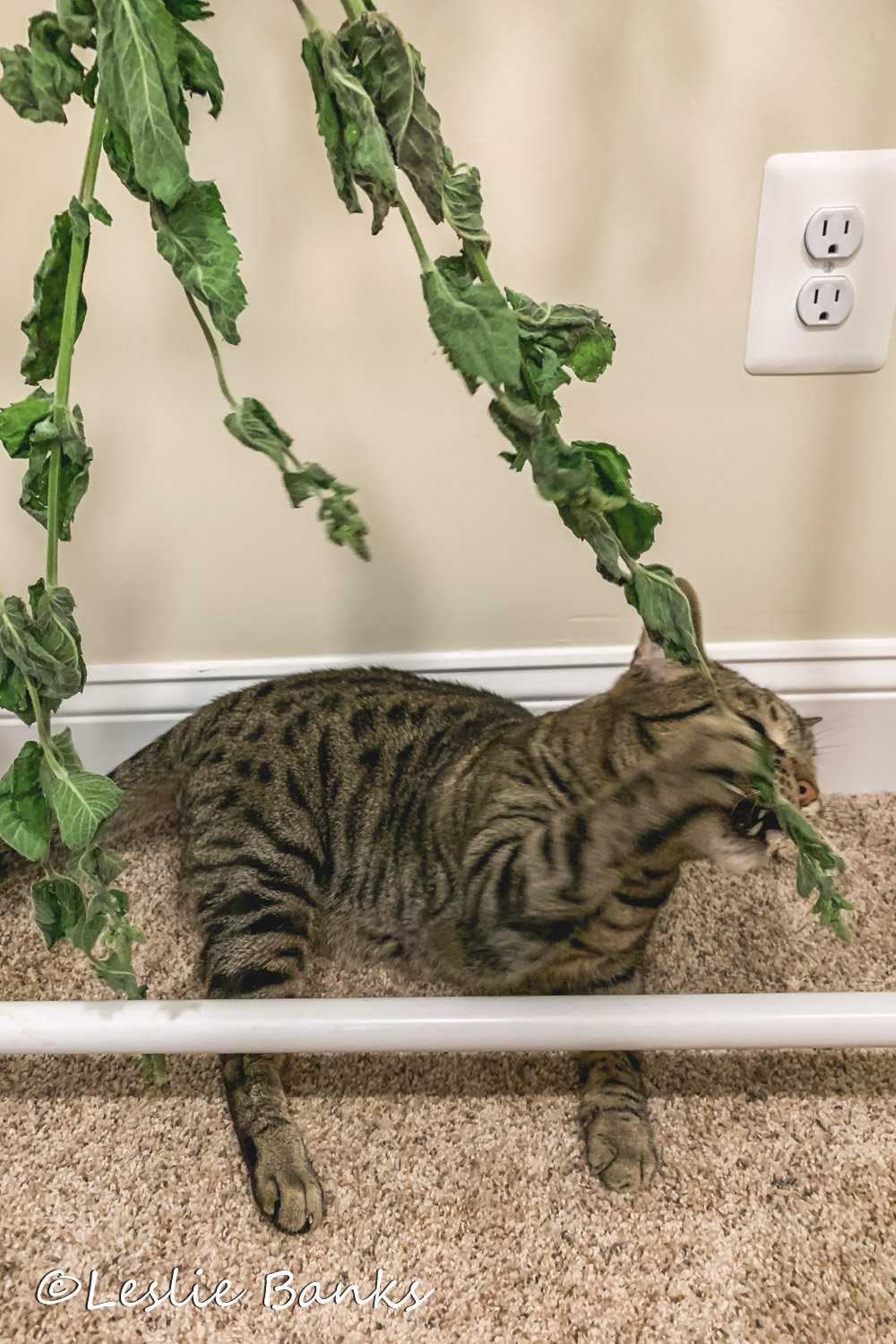 Cat Playing with Mint Leaves