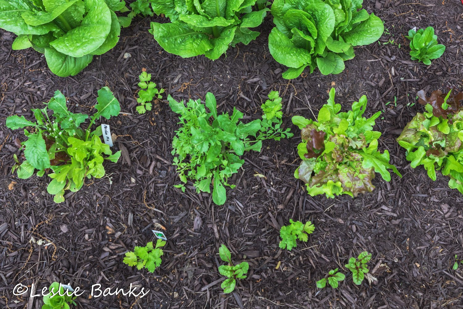 Celery Interplanted with Lettuce