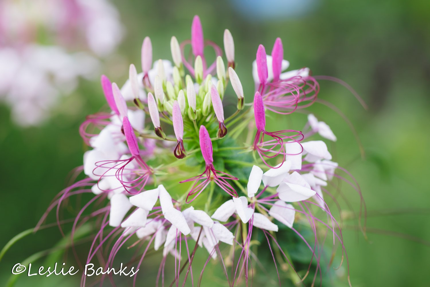 Cleome, also known as spider flower