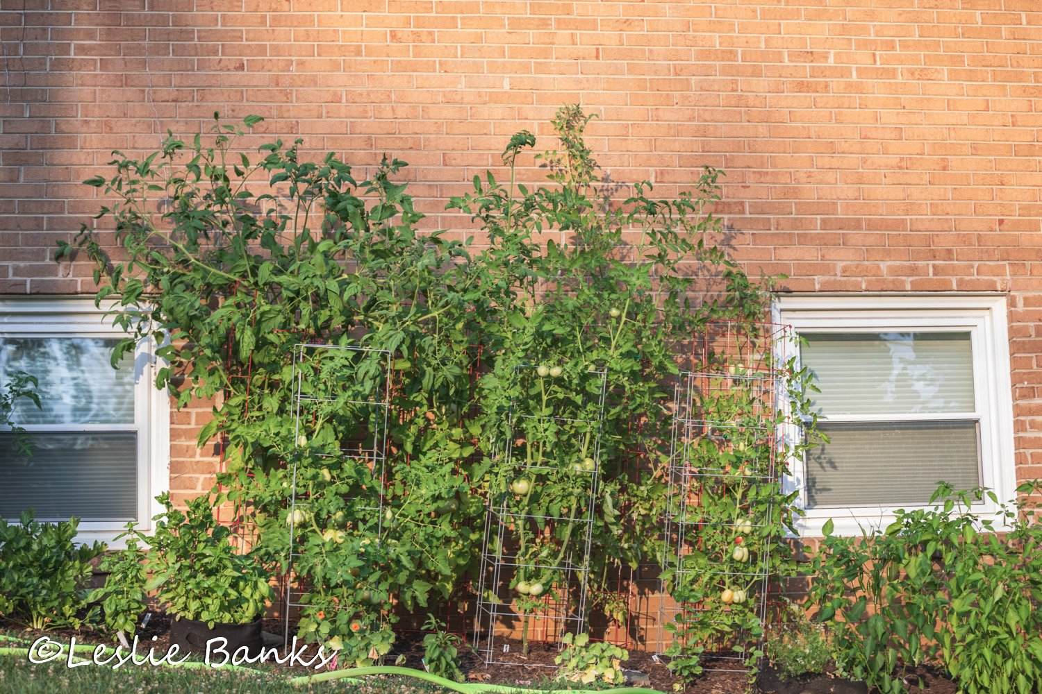 Tomato Bed in Summer