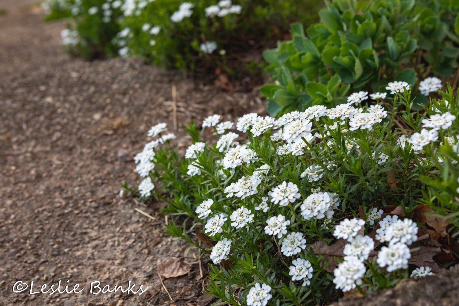 White Candytuft in Bloom