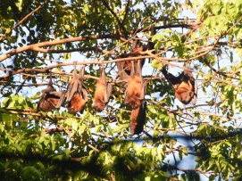Pemba flying fox