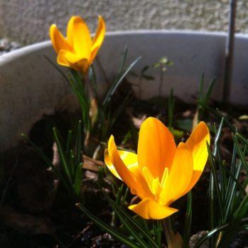 Petits crocus annonçant le printemps