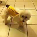 Un chien banane, costume cousu par mon chéri