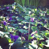 J'ai découvert un tapis de violettes dans mon jardin