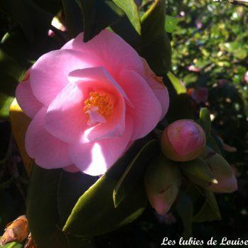 Les camélias du parc floral ♥