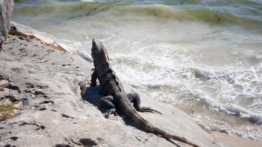 Iguane sur le site de Tulum