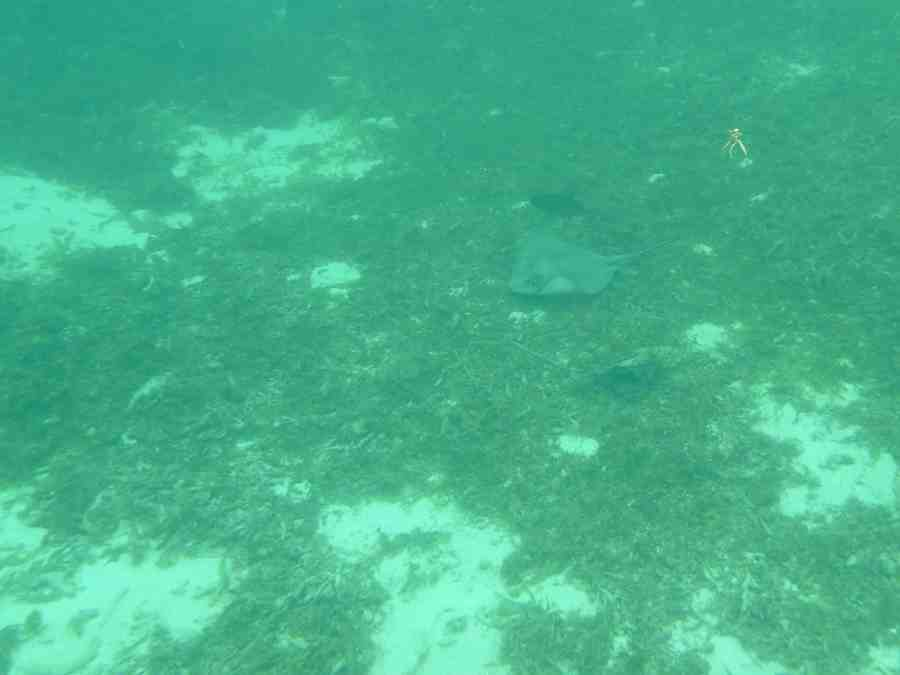 ile-petite terre-carabes-guadeloupe-raie-nature-mer-snorkeling
