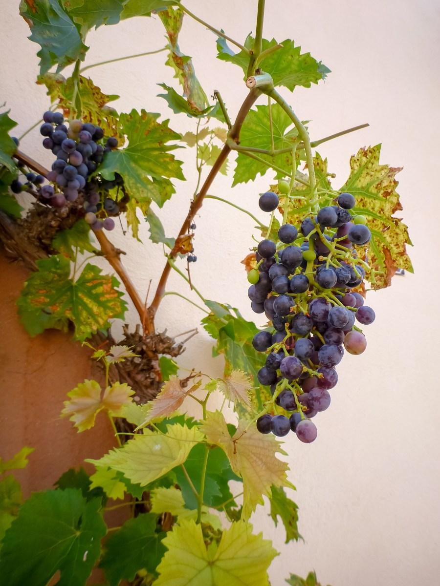 route des vins-alsace-france-mittelbergheim-rue-village-vigne-raisin