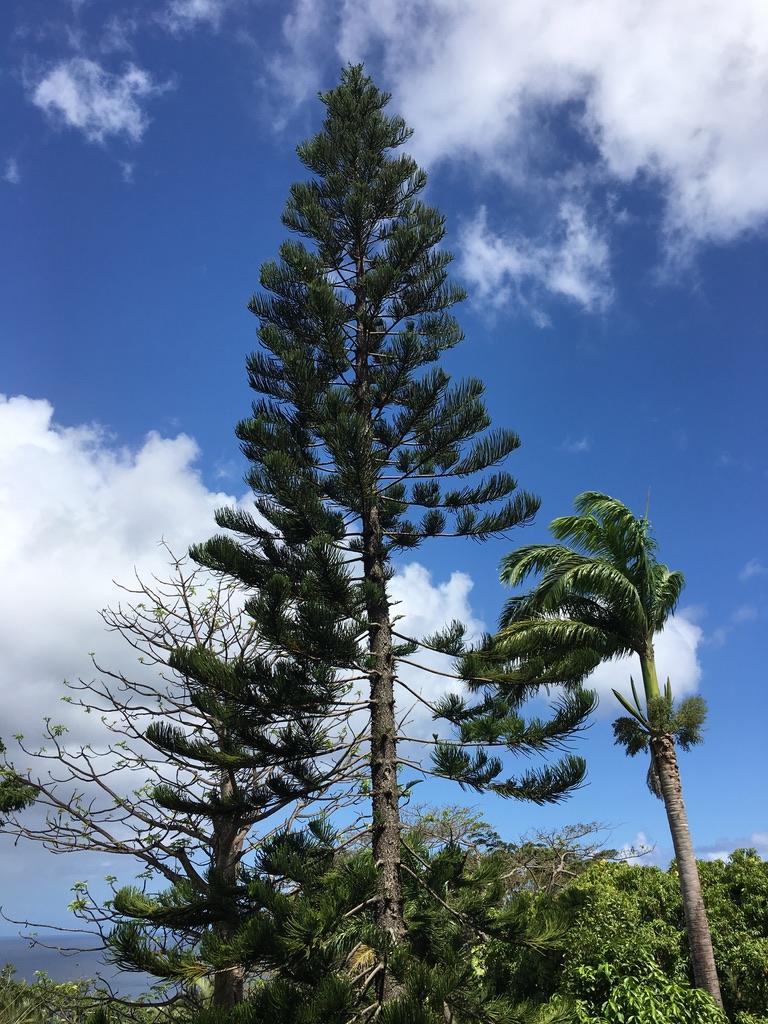 jardin-botanique-nature-fleur-caraibes-guadeloupe-basse terre-arbre-pins