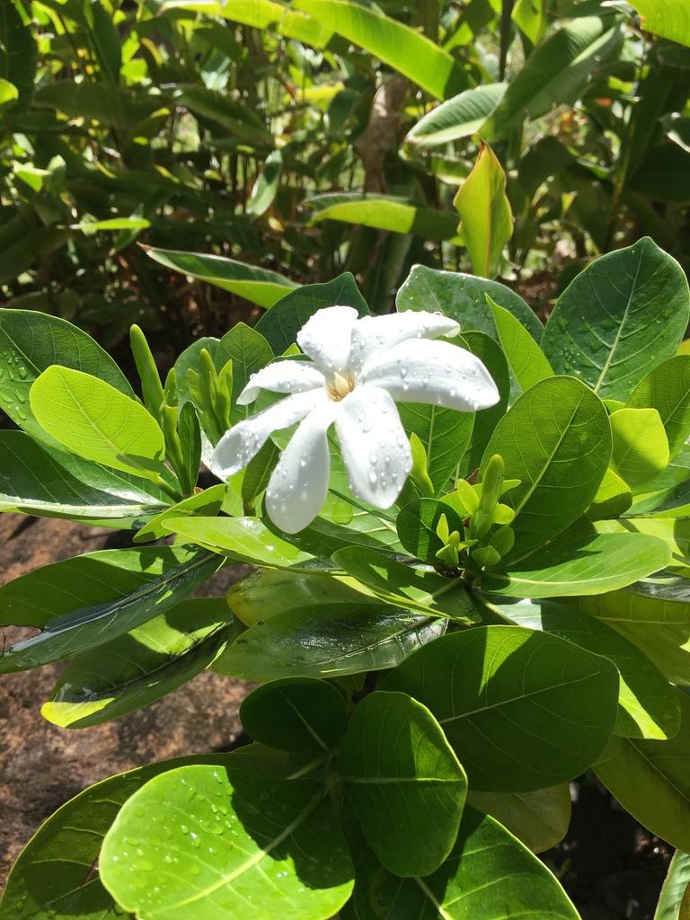 jardin-botanique-nature-fleur-caraibes-guadeloupe-basse terre-tiare-polynesie