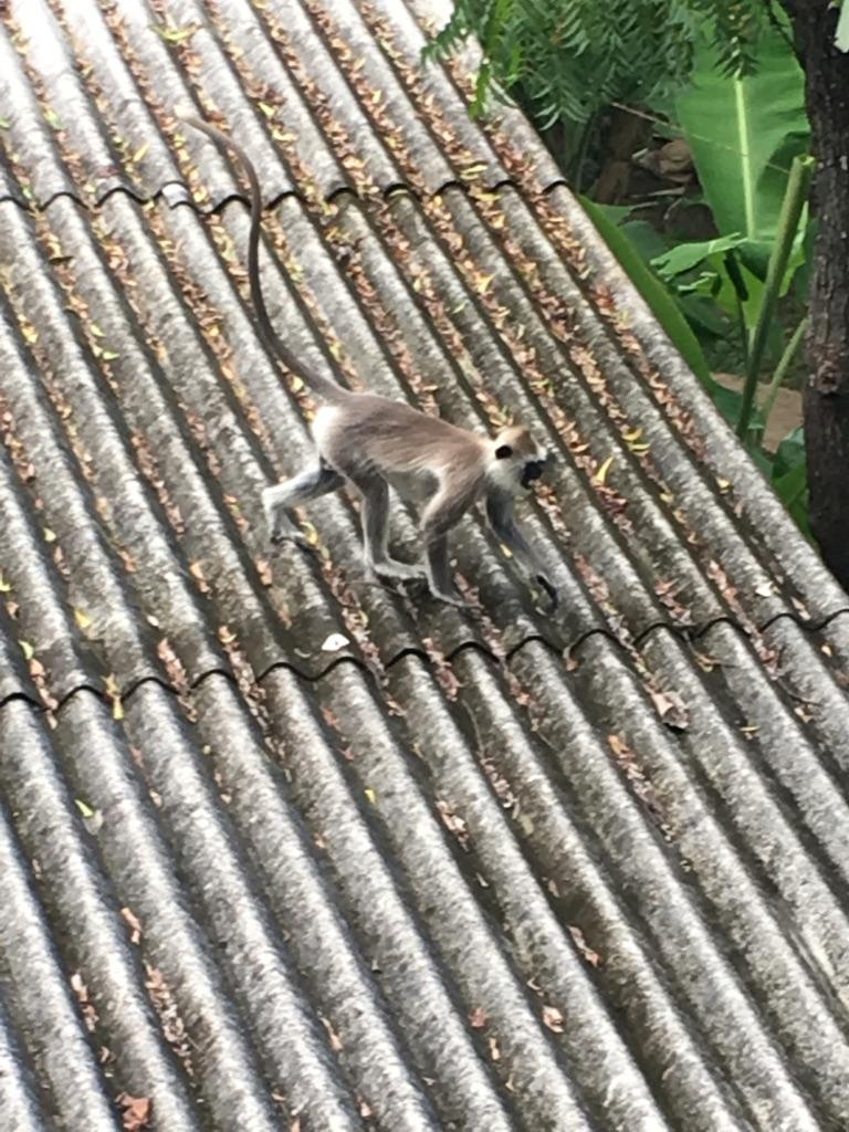 Les singes se baladent dans notre guest-house