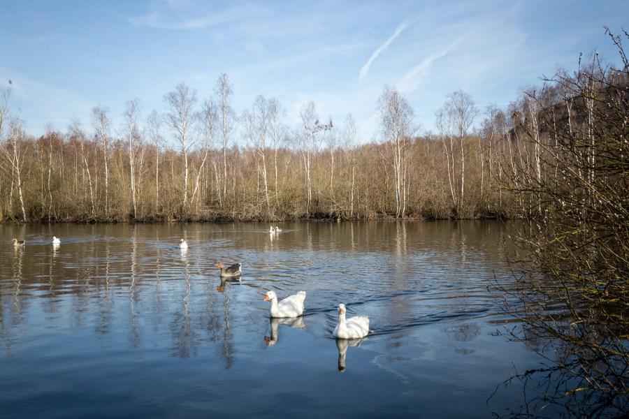 Cygnes sur lac en Hauts de France