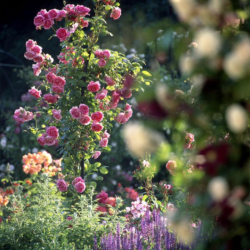 Rose du jardin de Chaalis