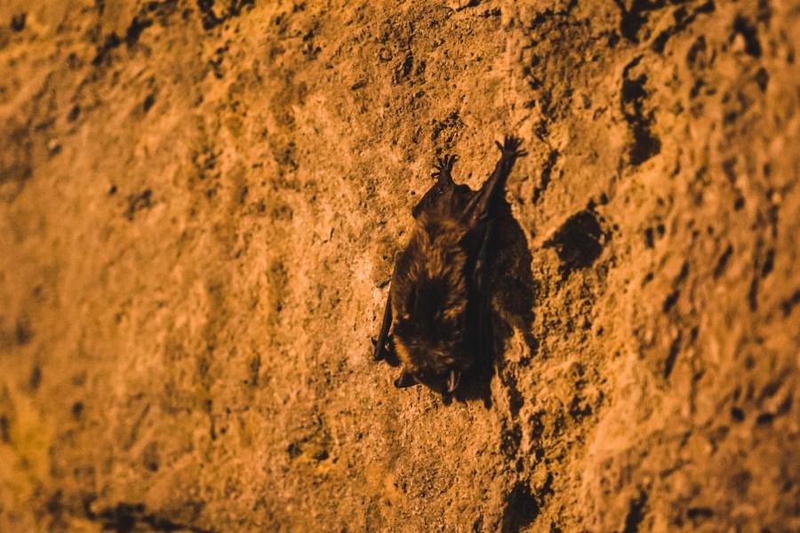 Chauve souris aperçue dans les galeries souterraines de Laon