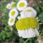 cette-fleur-de-pissenlit-presente-une-forme-etrange-depuis-l