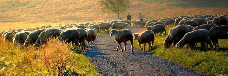 Sheep-Wallpaper-morning-nature-landscape-desktop