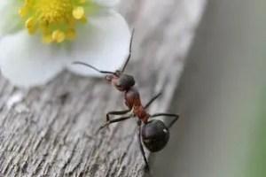 Comment se débarrasser des fourmis dans la maison