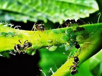 Comment se débarrasser des fourmis avec du bicarbonate de soude