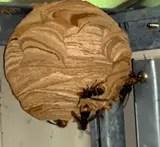 nid de frelon asiatique 2