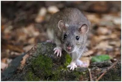 Recette de grand-mère pour tuer les rats et les souris