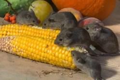 des rats qui mange du mais