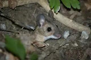 Comment chasser les souris de la maison