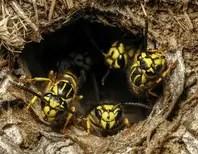 nid de guêpes de terre