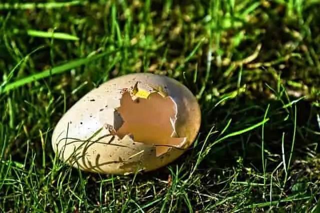 coquille d'œufs
