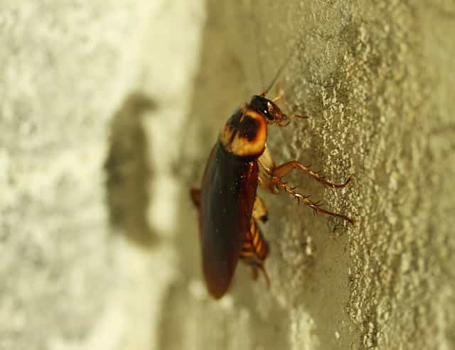 insecte ressemblant au cafard