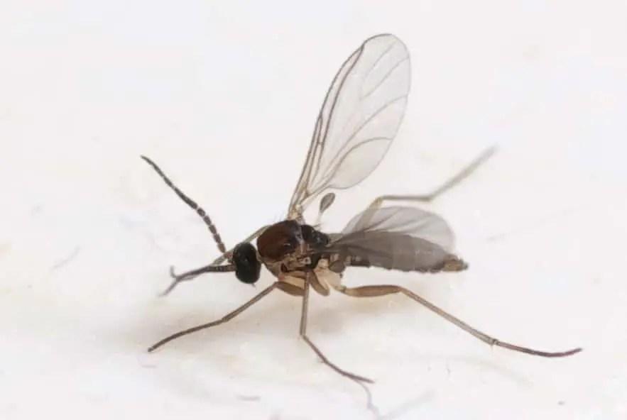 Comment se débarrasser des moucherons dans son appartement