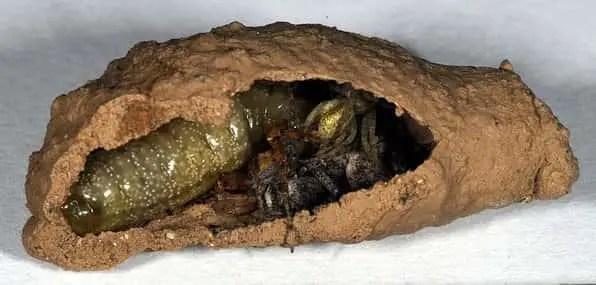 coupe horizontale d'un nid de guêpe maçonne
