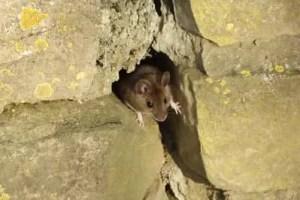 où peut se cacher une souris dans un appartement
