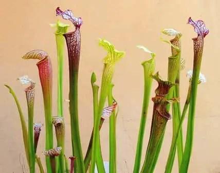 plante surracénie
