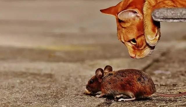 Qu'est-ce qui attire les souris dans une maison