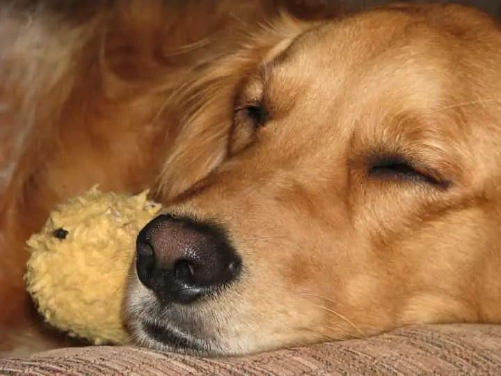 un chien qui fait sa sieste