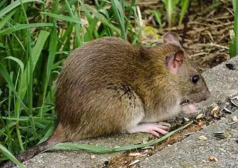 une souris des champs