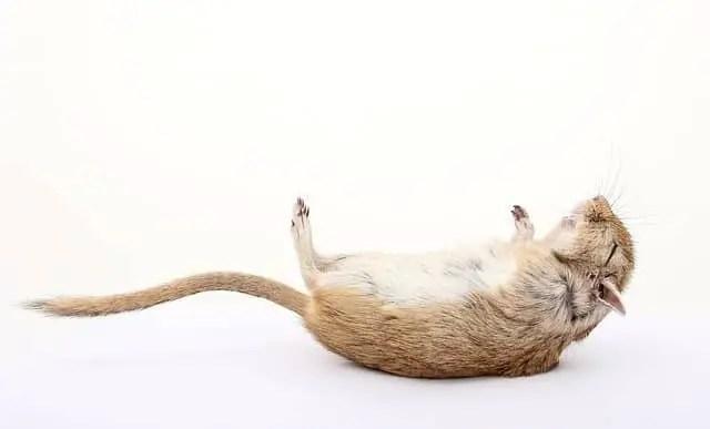 une souris morte