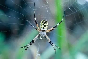 L'araignée jaune et noire est-elle dangereuse ?