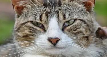 Comment savoir si mon chat a des puces ?