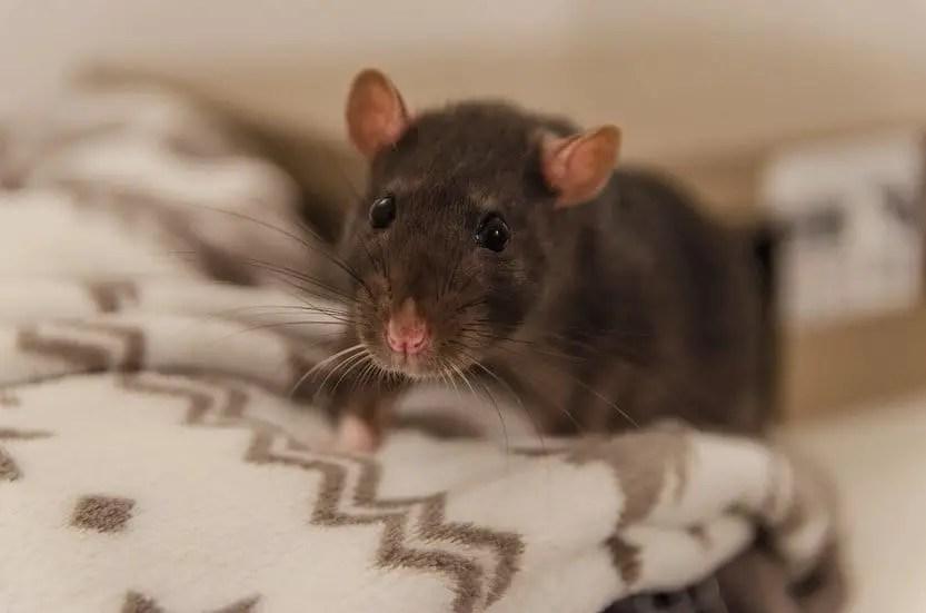 un rat malade