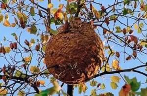 Comment détruire un nid de frelon asiatique ?
