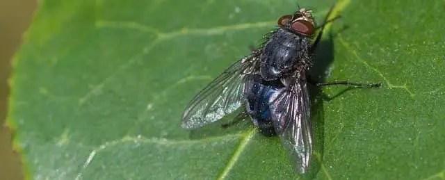 Durée de vie d'une mouche
