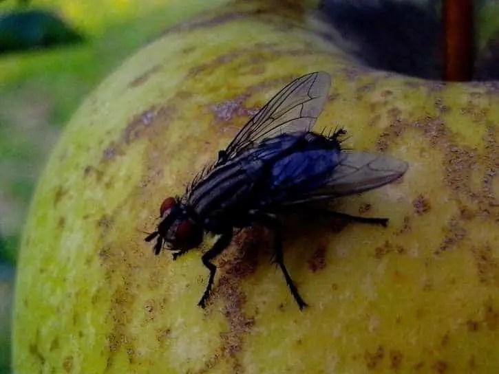 invasion de mouches dans une chambre