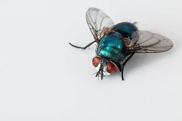 liste des espèces de mouches: la mouche bleue