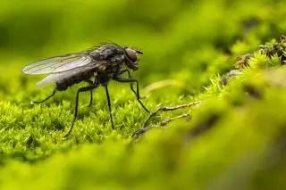 Read more about the article Que mangent les mouches ?