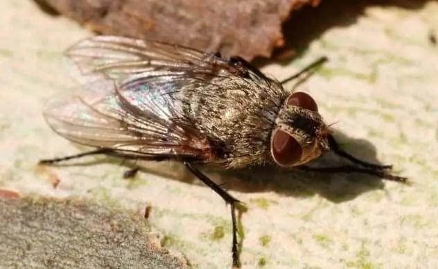 la pollinie du lombric
