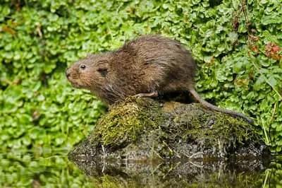 comment identifier un rongeur: le rat taupier