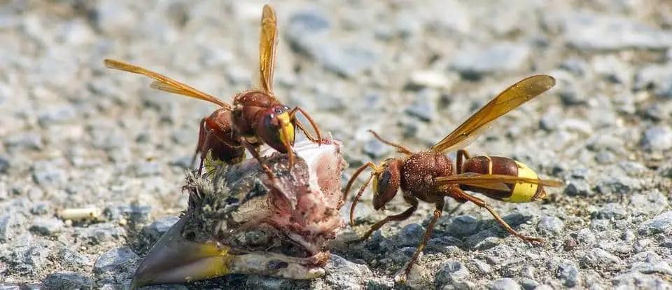 Frelon vespa orientalis ou frelon oriental